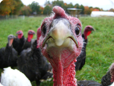 What Do Turkeys Like To Eat 28 Images Why Do We Eat
